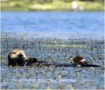 Schwimmen mit Ottern in Santa Cruz