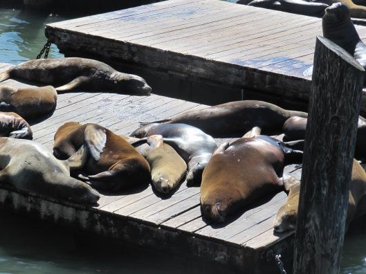 Seehunde am Pier 39 - sieht man hier auch einfach so, ab und zu